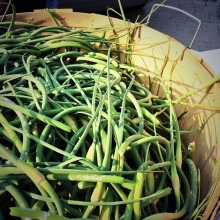 Garlic lovers rejoice! The Garlic Garden is back for their first market of 2018 and they're bringing fresh garlic scapes with them! « » Garlic scapes are mild and sweet but they also have a very distinct garlic flavour. You can chop them and use them as