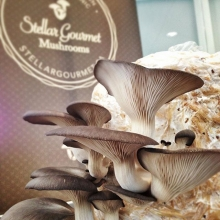 "Seldom do we make it through an entire market these days without someone asking us when ""The Mushroom Guy"" will be returning. « » 🍄Folks, the day has come! @stellar_mushrooms will be attending the market tomorrow and most Saturdays for the remainder"