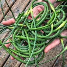It's scape season! @garlicgarden will be at market tomorrow with garlic scapes galore. Not sure what garlic scapes are? They're the green part of the plant that grows above the ground (like green onions). People go crazy for these garlicky tangles, so arr