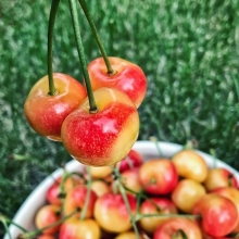After missing a market as a result of transportation issues, Kim's Fresh Fruit is back with loads of BC fruit. « » Perhaps you've visited their booth in the past and noticed some peculiar blonde cherries. Those are Rainier cherries and, while they're